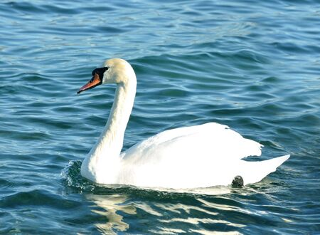 white swan on blue water photo