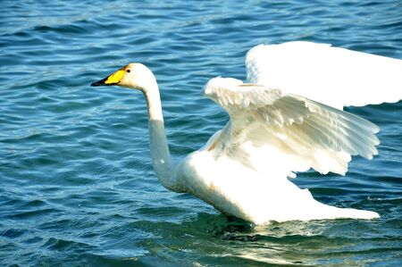 flapping: white swan flapping his wings
