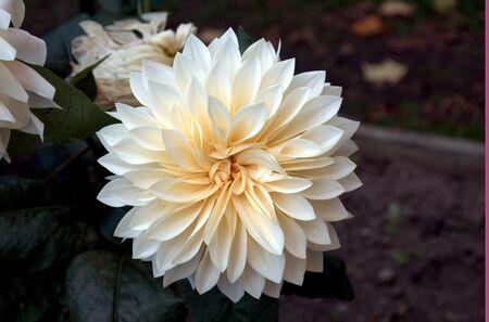 White Dahlia Reklamní fotografie