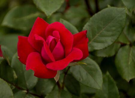 Red Rose, again Reklamní fotografie