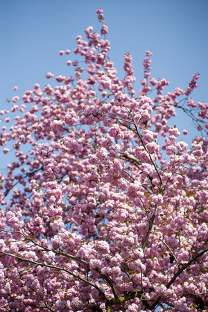 spring tide: Springtime pink japanese cherry blooming on daylight blue sky backgroung, vertical picture