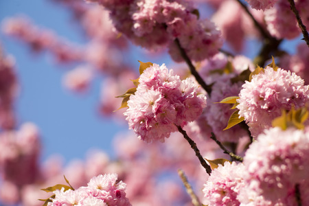 spring tide: Spring pink japanese cherry blooming on daylight blue sky backgroung copyspace closeup, horizontal picture