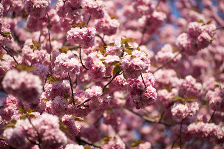 spring tide: Springtime pink japanese cherry blossom background in broad daylight, horizontal picture