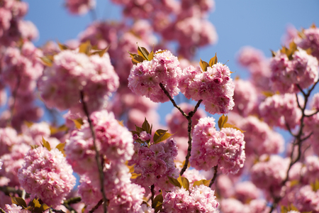 spring tide: Springtime pink oriental cherry blossom background on daylight blue sky closeup, horizontal picture Stock Photo