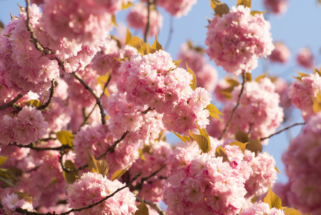spring tide: Vernal pink japanese cherry blossom on daylight blue sky backgroung closeup, horizontal picture Stock Photo