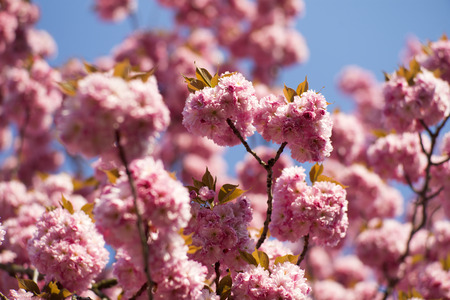 spring tide: Springtime pink oriental cherry blossoming on daylight blue sky backgroung closeup, horizontal picture