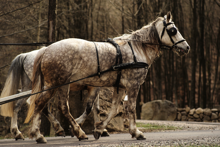 horse traction: Beautiful horses in herness riding on the road near the forest on the natural background, horizontal picture Stock Photo