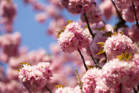spring tide: Spring pink japanese cherry blossom on daylight blue sky backgroung copyspace closeup, horizontal picture Stock Photo