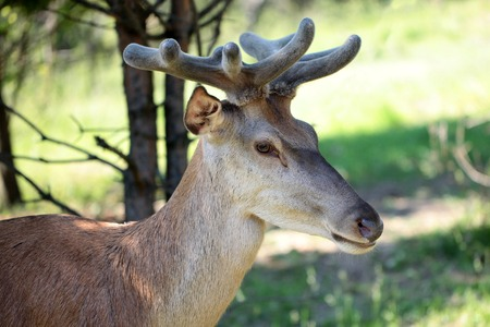 roebuck: Young brown deer with beautiful antlesr standing in profile in forest with green grass on natural background horizontal picture Stock Photo