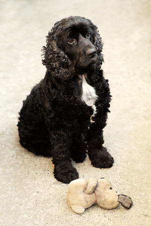 english cocker spaniel: Cute pure bred black and white english cocker spaniel dog devotedly looking and sitting outdoor near soft toy of puppy, vertical picture Stock Photo