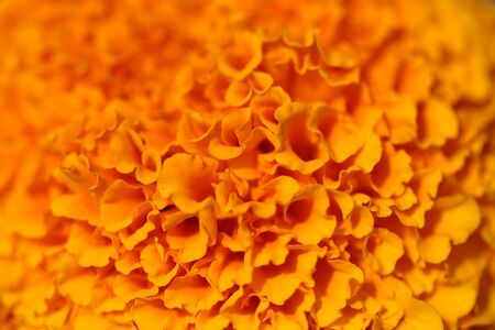 Beautiful coloured bright thick orange flower with many petals closeup, horizontal picture