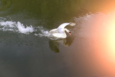 wing span: Beautiful big white swan waving wings swimming in the clear  mirror pond on natural background with highlight, horizontal picture