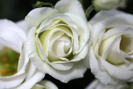 tinge: Bunch of beautiful delicate white with lemon tinge rose flowers with soft petals closeup, horizontal picture Stock Photo