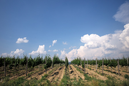 grape field: View of the grape field on the farm with blue sky on horizon om natural background, horizontal picture