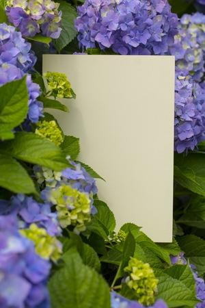 papier vierge: Note vierge de papier dans de belles fleurs d'hortensia frais