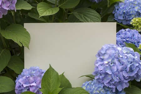 Blanco papier notitie in hortensia bloemen Stockfoto