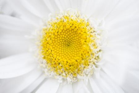 chamomile flower: A white chamomile flower closeup