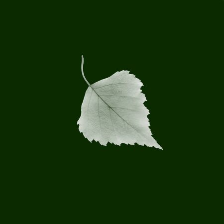 inversion: One natural separated flat fresh white poplar leaf in inversion with beautiful shape isolated on green background closeup, square picture Stock Photo