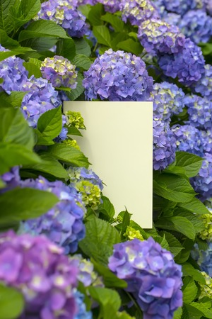 papier vierge: Blank m�mo papier m�mo dans les fleurs d'hortensia
