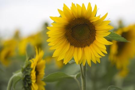 Een mooie ronde fel verse bloeiende gele zonnebloem met zaden in het midden en de groene bladeren in gecultiveerd gebied op natuurlijke landschap achtergrond, horizontaal beeld