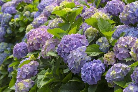 bloomy: Bloomy hydrangea flowers in a garden