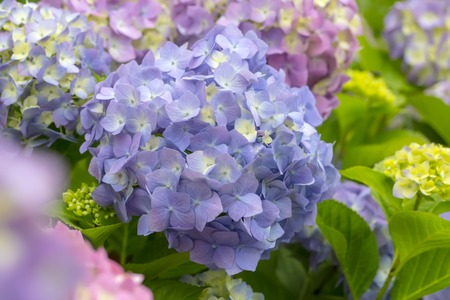 bloomy: Bloomy Hydrangea flowers with leaves in a garden Stock Photo
