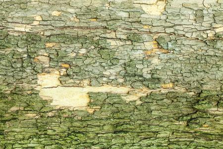 wood backgrounds: Dry mossy tree bark texture closeup Stock Photo
