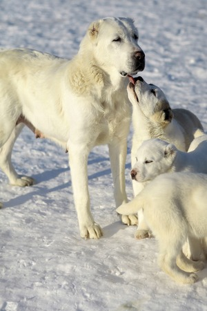 alabai: One big young cute smart mother dog and two fluffy lovely pedigree pups of alabai or central asian shepherd standing and licking with tongue on snow in sunny winter day outdoor, vertical picture Stock Photo