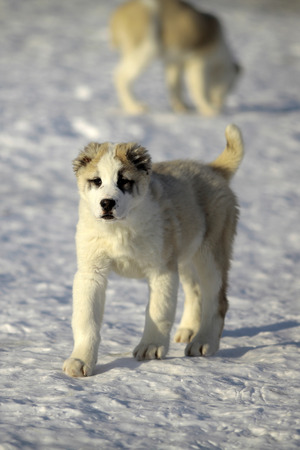 pure breed: One small young pretty fluffy curious pure breed puppy of alabai or central asian shepherd dog walking on snow in sunny winter day outdoor, vertical picture