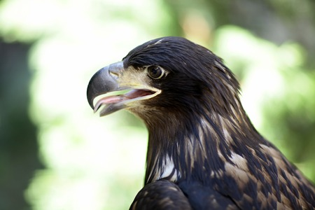 predatory: Profile of majestic wild predatory animal bird class of eagle with brown feathers and yellow curved beak sitting and watching outdoor on blur background, horizontal picture