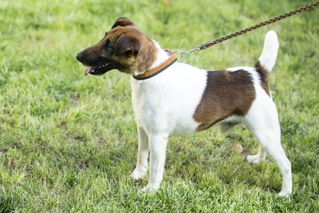 pedigree: Full height profile view of beautiful small pedigree fox terrier or jack russel young pet dog white and brown on collar standing on green grass sunny day on natural background, horizontal picture Stock Photo