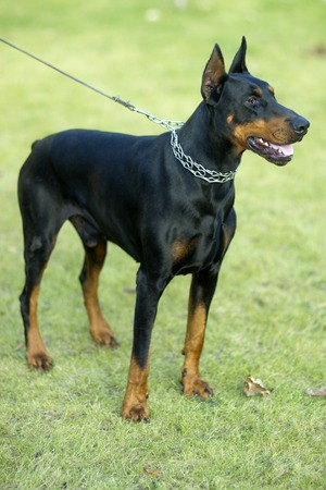brown dobermann: Young beautiful pedigree glossy black and brown haired friendly faithful doberman dog in collar on lead looking away standing on fresh green grass outdoor on natural background, vertical picture