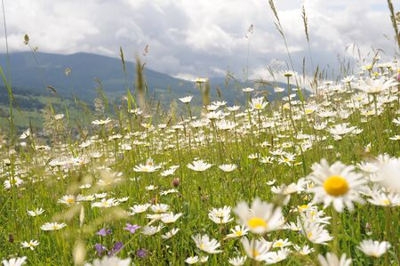 wonderfull: Wonderfull wild fresh small tiny camomiles flowers pink clovers green grass on medow high beautiful mountains with grey and white clouds on background outdoor, horizontal picture