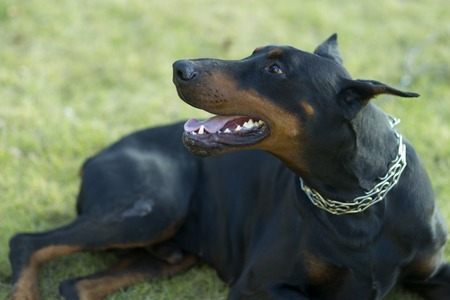 brown dobermann: Young attractive pedigree black and brown haired friendly loyal doberman dog in metal collar turned head to left lying on fresh green grass outdoor on natural background, horizontal picture.