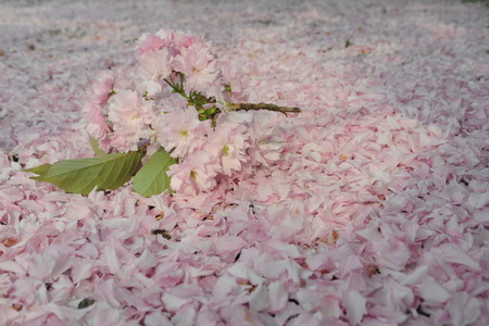 pinkish: Plucked branch of tender pinkish blossom sakura flowers lying on ground covered completely with fallen blossom sakura tree petals on natural background outdoor, copy space, hoizontal picture