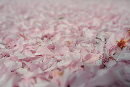 pinkish: Fallen tender pinkish blossom sakura tree petals completely covered background in spring outdoor copy space, hoizontal picture
