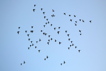 migrating: Aerial view of big band of many flying black birds migrating to warm places in unflawed blue sky sunny day outdoor on natural background, horizontal picture