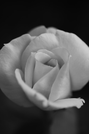 misterious: Closeup of one beutiful fresh misterious white flower of rose with soft petals on dark background black and white, vertical picture