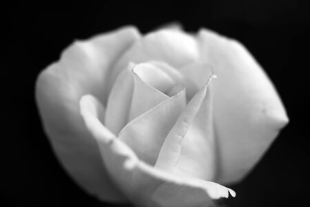 misterious: Closeup of one beutiful fresh misterious white flower of rose with soft petals on dark background black and white, horizontal picture