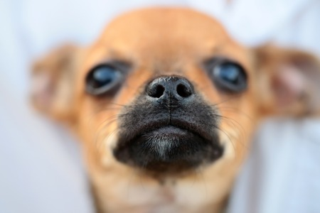 toyterrier: Closeup view of cute beautiful little dog smallest breed in world of mexican origin chihuahua or toy-terrier brown color with black nose and whiskers in front on blur background, horizontal picture Stock Photo