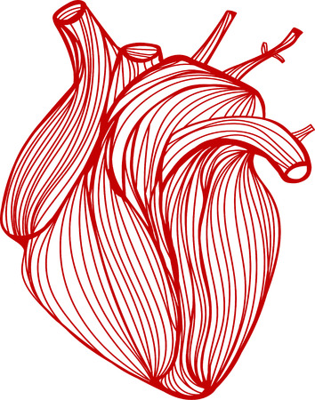 anatomic: Vector illustration of one drawn from many red lines anatomic human heart on white background Illustration
