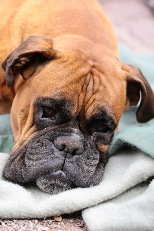 one of a kind: Closeup portrait of one large cute friendly pedigreed boxer pet with sweety kind look and sad eyes lying on grey blue blanket indoor, vertical picture