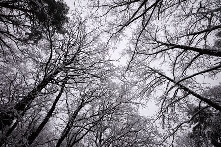 no snow: Beautiful winter white snowy frosty frozen cold landscape with snow on tree branches in forest outdoor on natural seasonal background with no people, horizontal picture