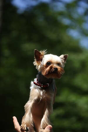 pure breed: Closeup view of one beautiful cute little pure breed dog of Yorkshire Terrier pet with brown and black fur high on human hand sunny outdoor on natural background, vertical picture