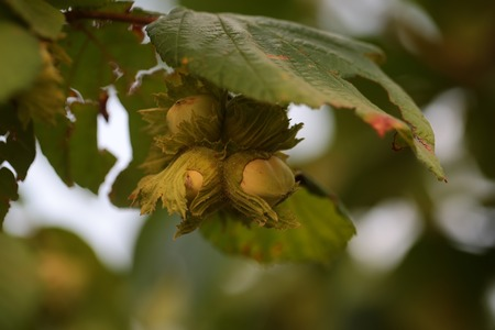 cobnut: Hazelnuts with green leaves on hazel grove branch macro closeup on blurred background, horizontal picture