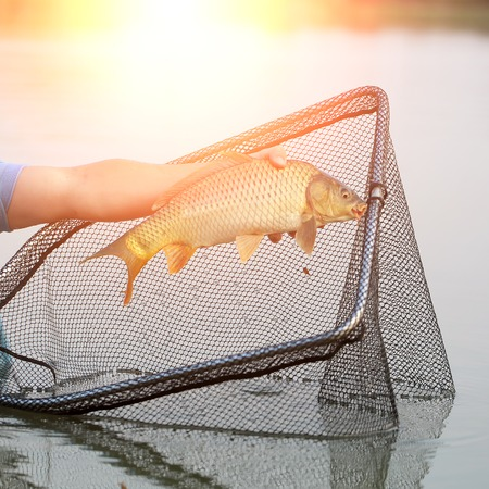 pond: Fisherman using  dip net for freshwater fishing catching on pond closeup male hand holding one big fish in sun rays on natural background, horizontal picture