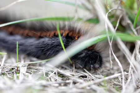 dry grass: Black-orange pilose shaggy caterpillar larva of butterfly wriggle on dry grass on natural background outdoor closeup, horizontal picture Stock Photo