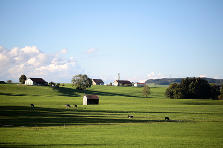 horizon: Beautiful summer sunny country landscape with cows on green grass meadow and provence buildings on horizon against bright blue sky with few low white clouds background, horizontal picture Stock Photo