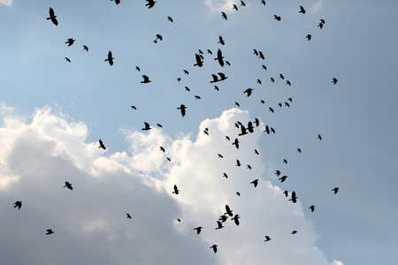 raven: Murder of many black raven corvus corax birds hovering in high blue sky with cumulus clouds in summer on natural background, horizontal picture