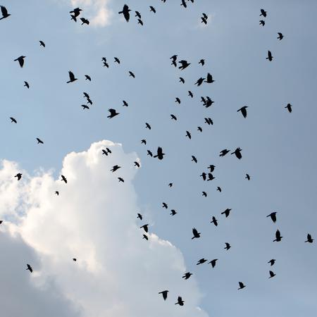 cuervo: Gran reuni�n de carb�n negro cuervos Siluetas de los p�jaros revoloteando y croar de alta en el cielo azul con nubes en el fondo natural, al aire libre en primavera, imagen cuadrada Foto de archivo